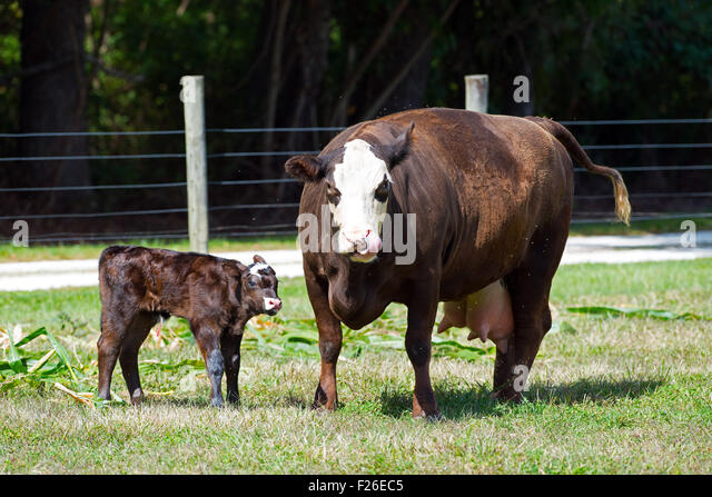 Cow and Newborn Calf - Stock Image