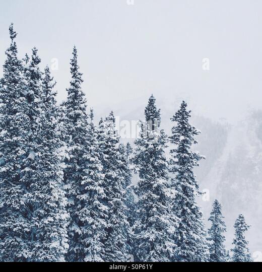 Snowy trees - Stock Image