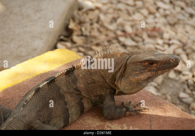 Large Iguana on cement pad near rocks - Stock Image