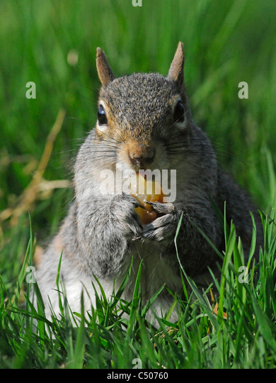 A grey squirrel eating a grape. - Stock Image
