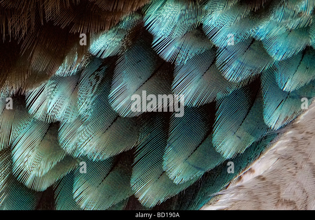 Blue-winged Kookaburra feathers Dacelo leachii - Stock Image