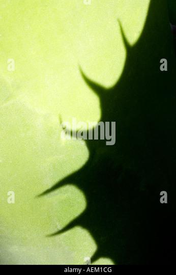 Cactus shadow Arizona Sonora Desert Museum Arizona - Stock-Bilder