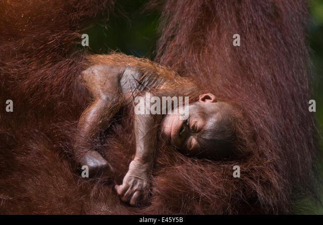 Orang utan (Pongo pygmaeus) baby sleeping in the arms of an adult, Semengoh Nature reserve, Sarawak, Borneo, Malaysia, - Stock Image