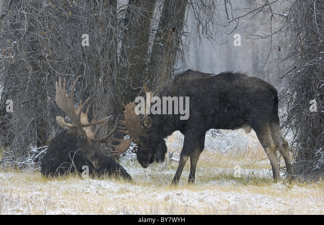 Bull Moose confrontation during snowstorm in an old-growth forest in Grand Teton National Park. - Stock Image