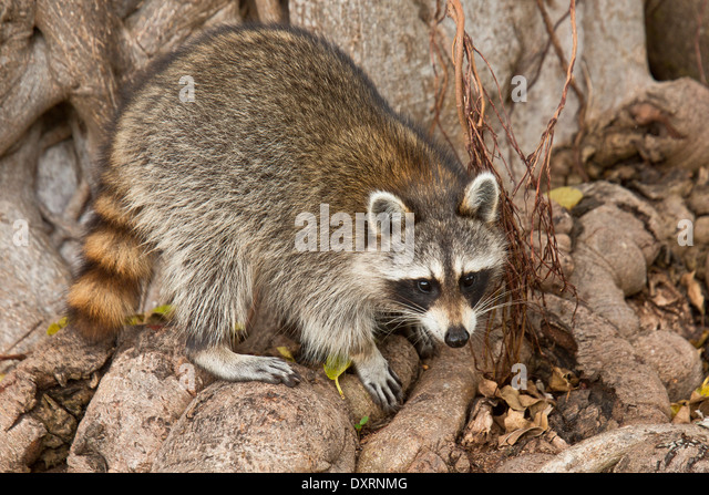 Raccoon or racoon, Procyon lotor searching for food among tree roots; Everglades, Florida. - Stock Image