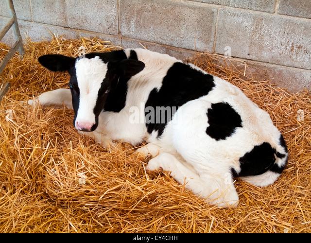 Holstein Friesian Calf Holstein Cows Calf Sto...