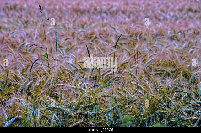 Fields Of Barley - Stock Image