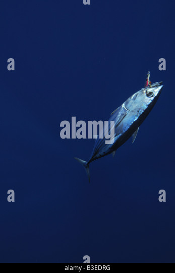 Skipjack tuna hooked in fishing line Katsuwonus pelamis Kailua Kona Hawaii - Stock Image