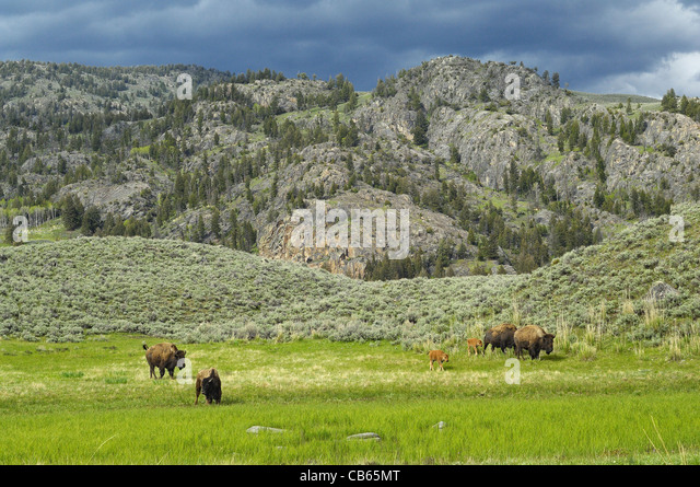 American Buffalo mothers and babies traveling the beautiful Yellowstone wilderness. - Stock Image