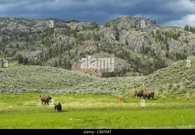 American Buffalo mothers and babies traveling the beautiful Yellowstone wilderness. - Stock-Bilder