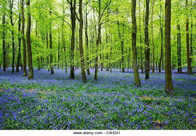 Hyacinthoides non-scripta - English Bluebell Woods - Stock Image