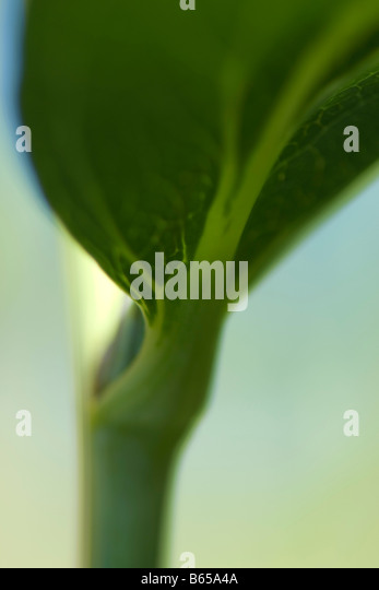 Underside of leaf growing on stem, extreme close-up - Stock Image