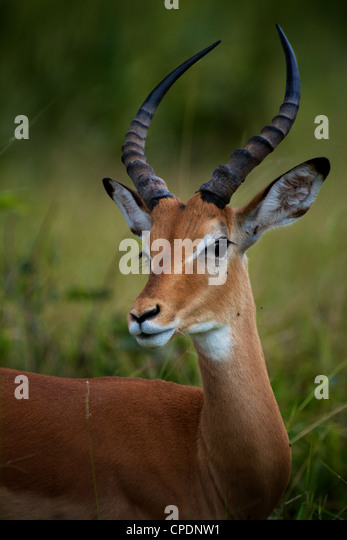 impala Aepyceros melampus Mikumi Game reserve . Southern Tanzania. Africa - Stock Image