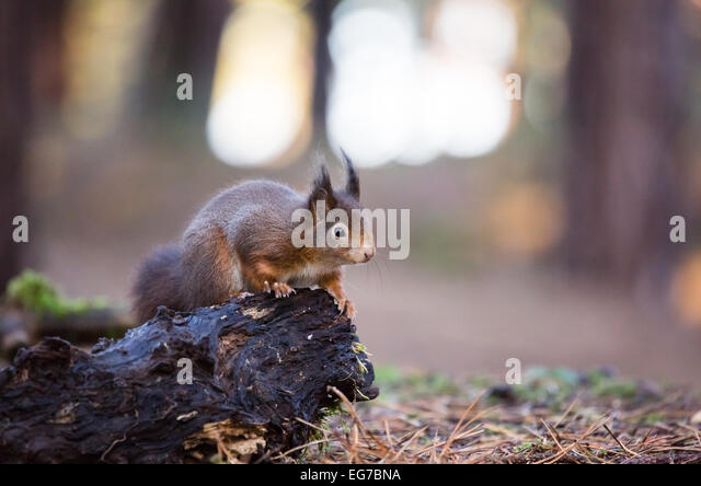 Red squirrel. Formby Nature Trust reserve - Stock Image