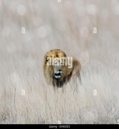 Male Lion Walking In The Grass - Stock Image