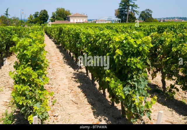 Grape Vineyard, Saint Emilion, Aquitaine, France Wine, Bordeaux - Stock Image