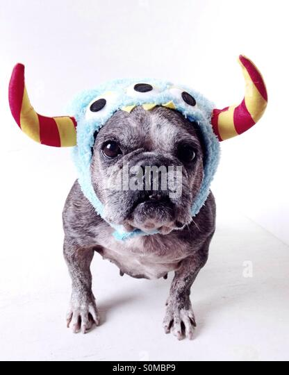 A cute old french bulldog dressed for halloween. - Stock Image