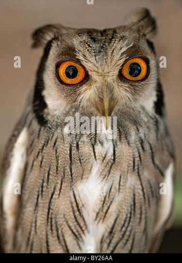 A White-faced Scops-Owl, a species of small owl with ear tufts that are raised when the bird is disturbed. - Stock-Bilder
