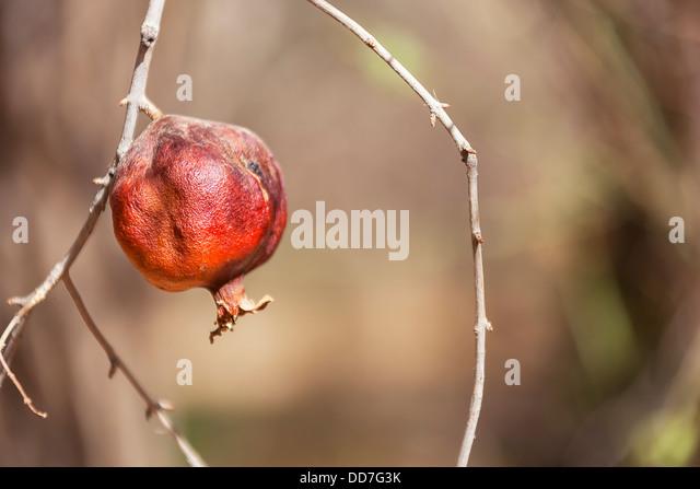 Pomegranate on branch. - Stock Image