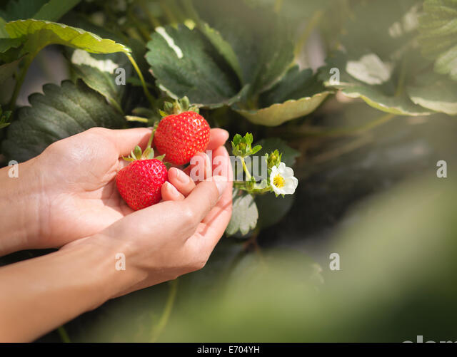 Close up of hands holding strawberries on fruit farm - Stock Image