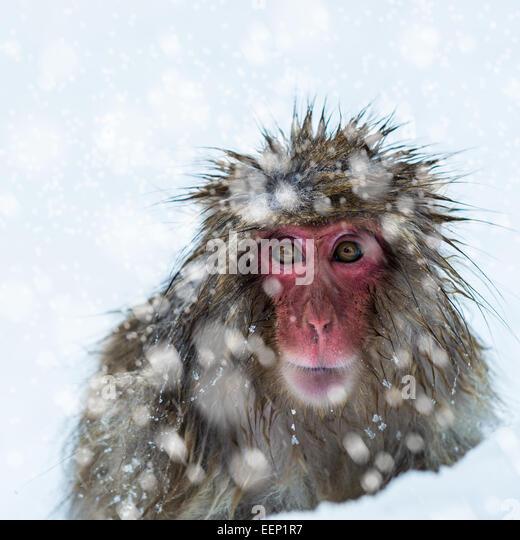 Snow monkey at the Jigokudani monkey park in Nagano Prefecture, Japan. - Stock Image