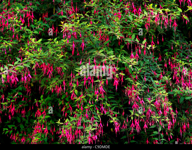 Close up of large Fuchia plant and flowers - Stock Image
