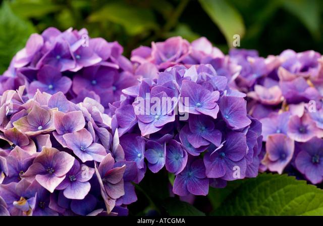 Hydrangea macrophylla Marachel Foch - Stock Image
