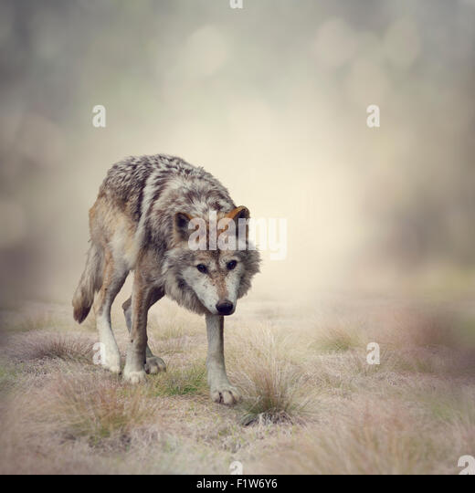 Portrait of Gray Wolf Walking - Stock Image
