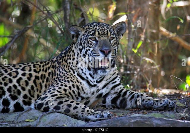 Jaguar Resting on the Ground. Pantanal, Brazil - Stock Image