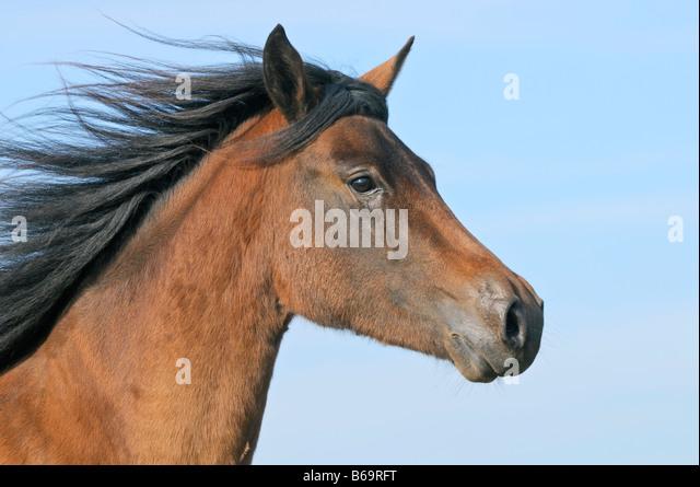 Paso Fino horse - Stock Image