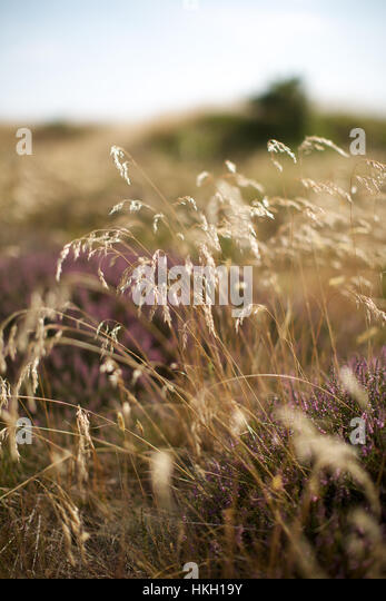 dry plants in heathland. nature, fragile, stem, growth. - Stock Image