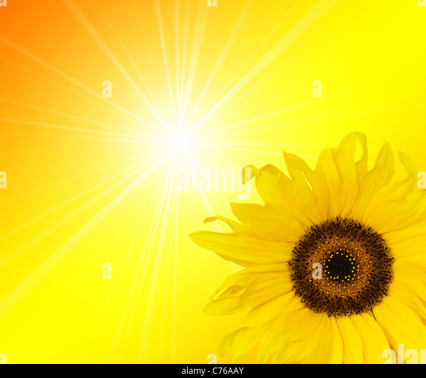 sunflower sunlight - Stock Image