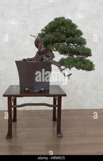 Bonsai tree, taiwanese juniper - Stock Image