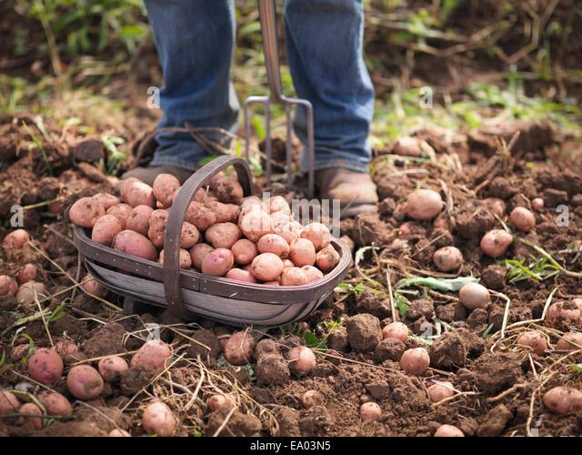Farmer with basket of organic potatoes - Stock Image