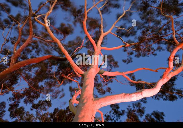 Mature lemon scented gum trees Eucalyptus citriodora in Kings Park Perth Western Australia, Australia - Stock Image