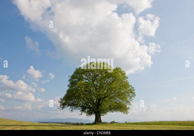 Single tree in field - Stock Image