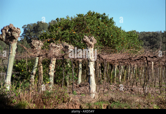 The vineyards of Miolo Wine Groupe, Bento Goncalves, Vale dos Vinhedos, southern Brazil - Stock Image