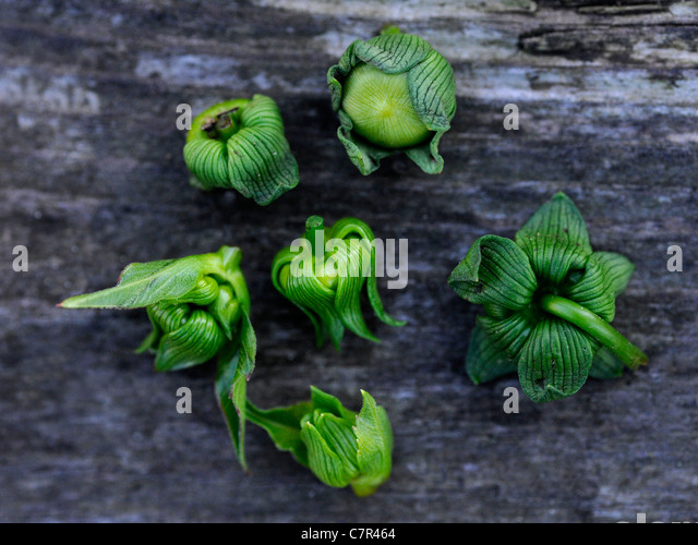 Buds from a debudded dahlia - Stock Image