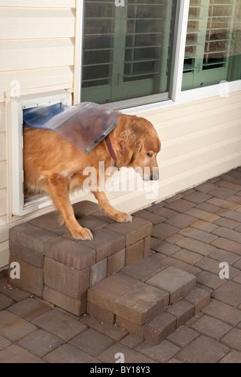 A golden retriever pet walks through a home's doggie door. - Stock Image