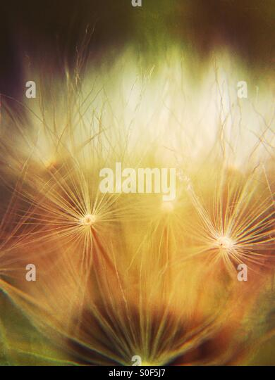 Close up of a dandelion clock - Stock Image