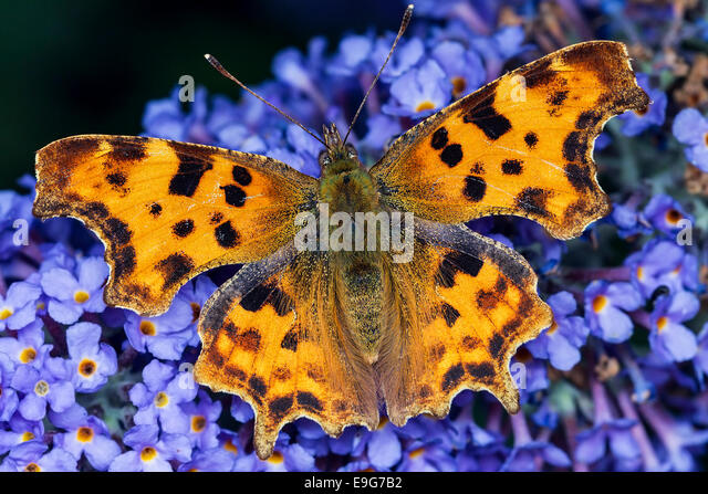 Comma Butterfly (Polygonia c-album) feeding on nectar of a buddleia plant in an English country garden - Stock Image