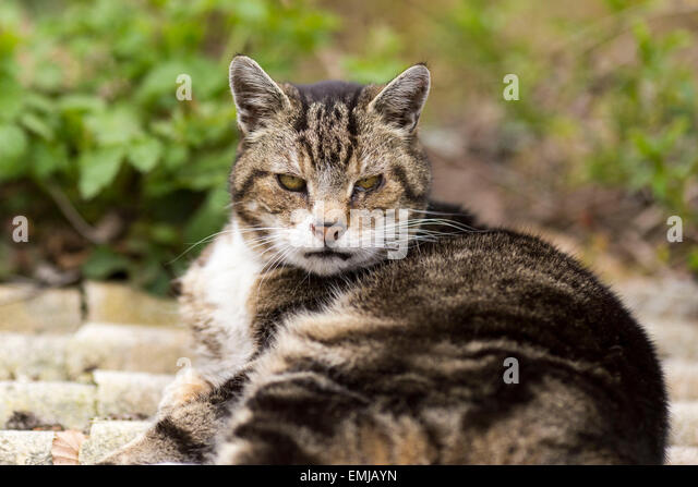 A moody looking cat stares at the camera - Stock Image
