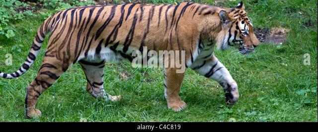 Siberian Tiger - Stock Image
