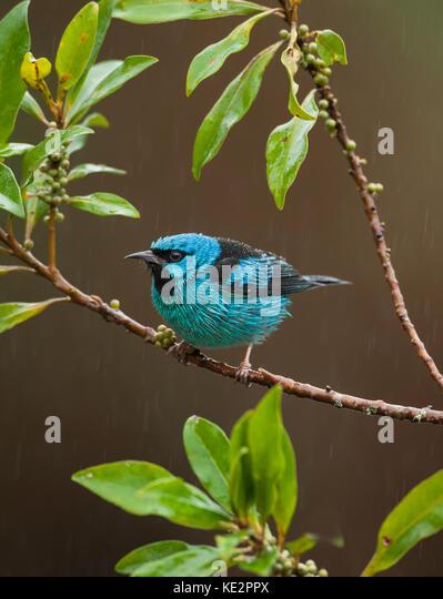 Saí-azul (Dacnis cayana), macho. - Stock Image