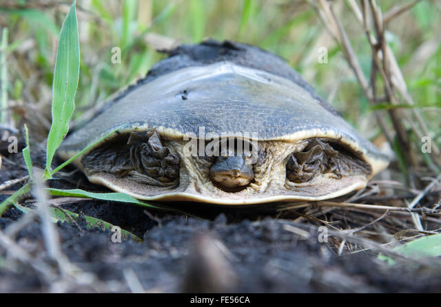 Africa, Mozambique, Gorongosa National Park. Serrated Hinged Terrapin, Pelusios sinatus. - Stock Image