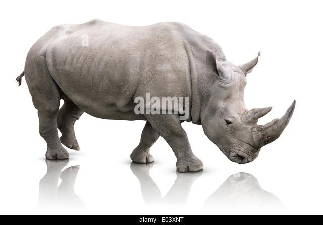 White Rhino - Ceratotherium simum - Stock Image
