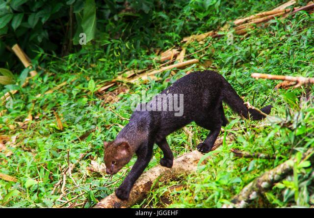 Jaguarundi rare wild cat wildlife image taken in Panama - Stock Image
