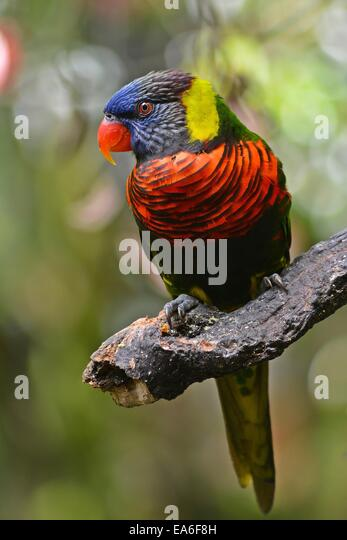 Indonesia, West Java, Bogor, Taman Safari, Colorful bird on branch - Stock Image