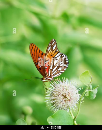Gulf Fritillary butterfly (Agraulis vanillae) feeding on buttonbush flower - Stock Image