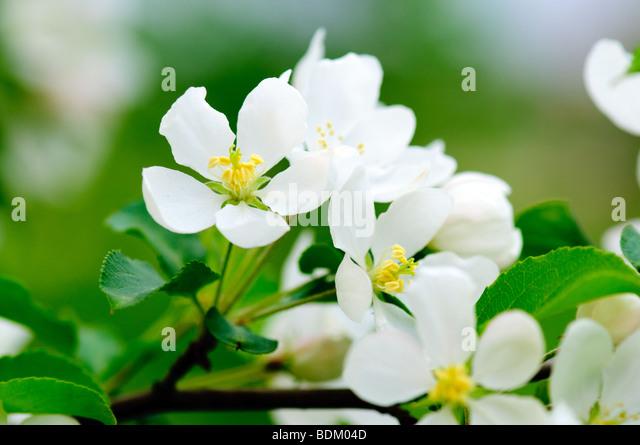 apple tree blossom flowers macro - Stock Image